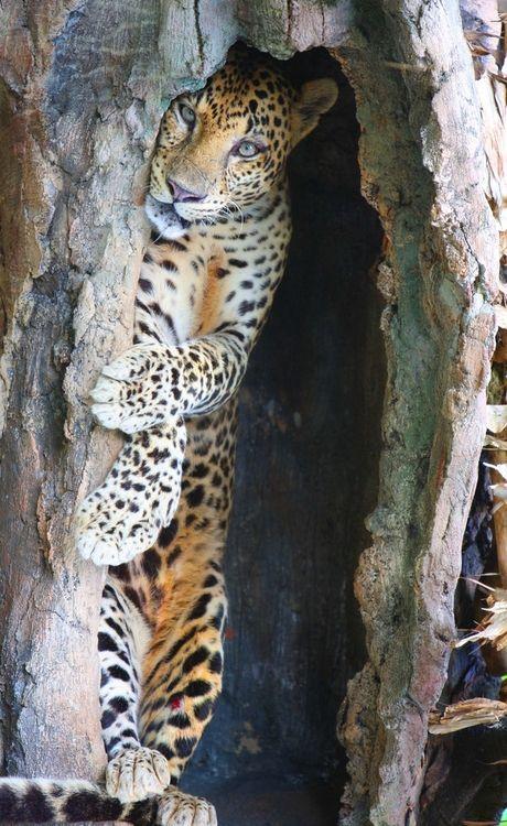 Peek-a-boo!: Wild Cat, Big Cat, Hiding Places, Beautiful, Leopards, Peekaboo, Peek A Boo, Animal, Bigcat