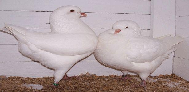 Pigeon Care, Pigeon Food, Training Pigeon, Pigeon Diseases, Pigeon Trap, Pigeon Cages, Pigeon Pictures and Pigeon Videos