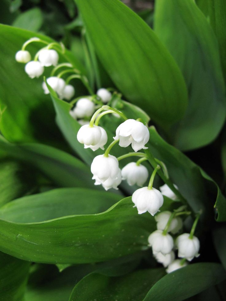 Lily of the valley is an easy and adaptable ground cover with fragrant white flowers that have inspired stories, songs, festivals and traditions.