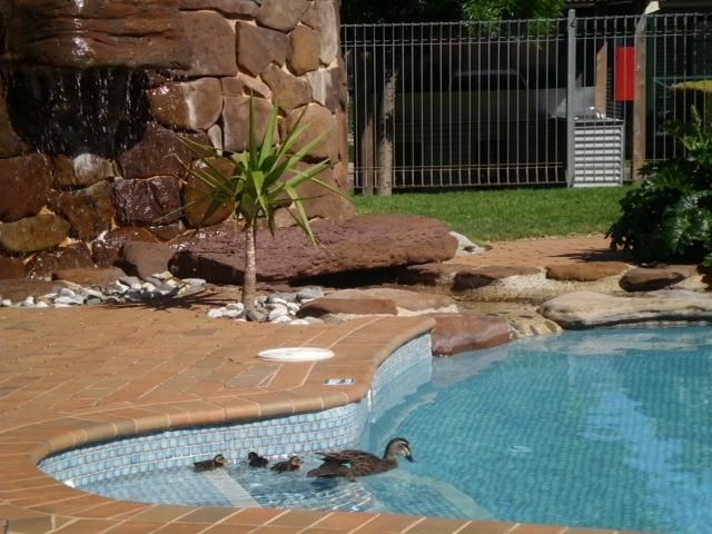 How cute are these guests?! #love #ducks #ducklings #swimming #pool #big4ballaratgoldfields