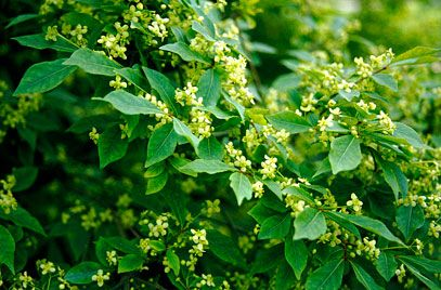 RHS Plant Selector Euonymus alatus 'Compactus' AGM / RHS Gardening