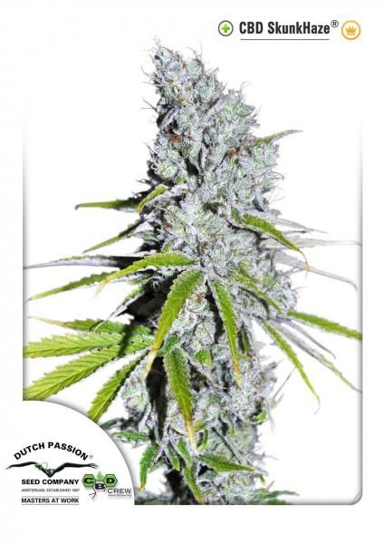 CBD SkunkHaze® is the first variety coming from a project between Dutch Passion and CBD Crew. The goal was to achieve an optimum ratio of 1:1 THC:CBD (5%THC 5%CBD in this case) To create this variety our Haze/Skunk (winner of the 1992 High Times Cannabis Cup) was carefully crossed with a high CBD variety.  Low % THC is preferred for some medical patients and recreational growers who want a relaxing and high quality genuine cannabis effect without the intensity that some high THC varieties…