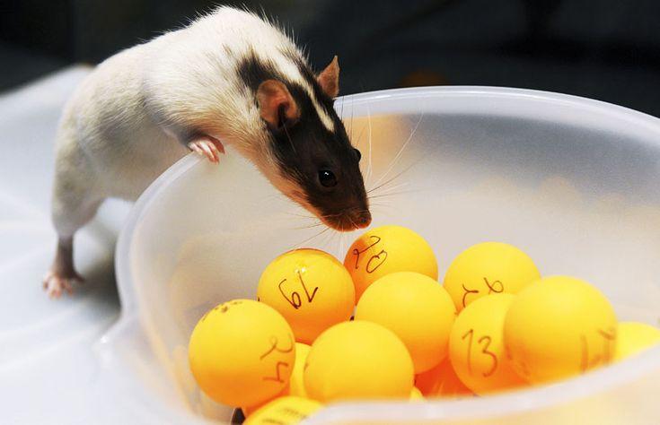 Tilda choosing lottery numbers. Tilda is a basketball rat in Heureka.