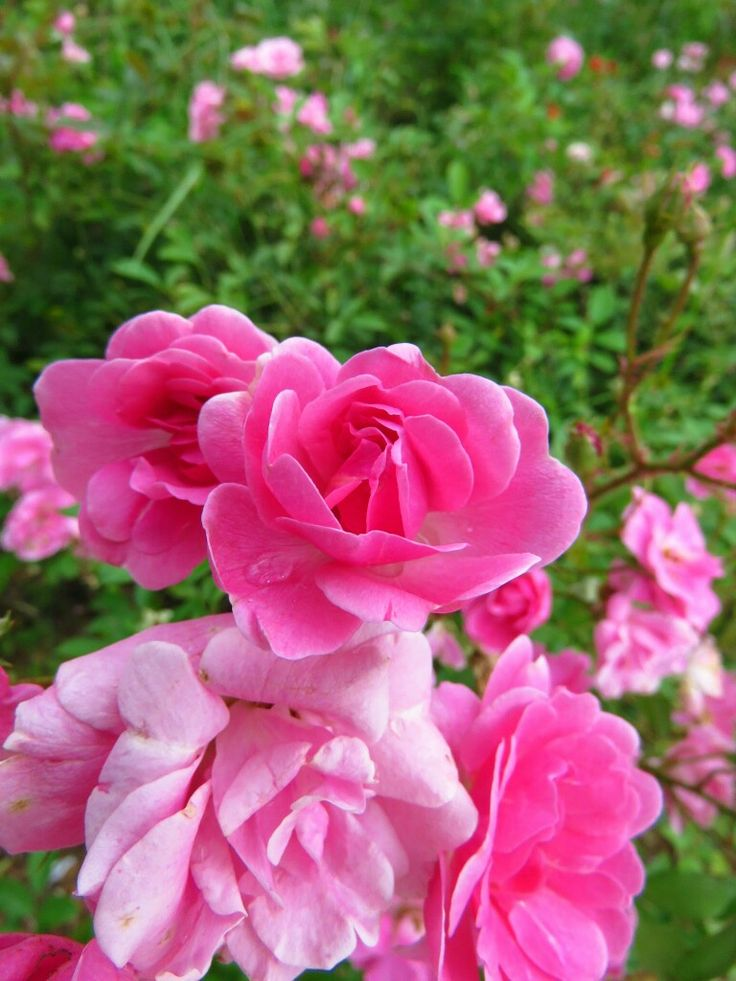 Rosas cor de rosa! By Cinthia Erdmann #cinthiafotografa #Cifotografa #rosas #colors