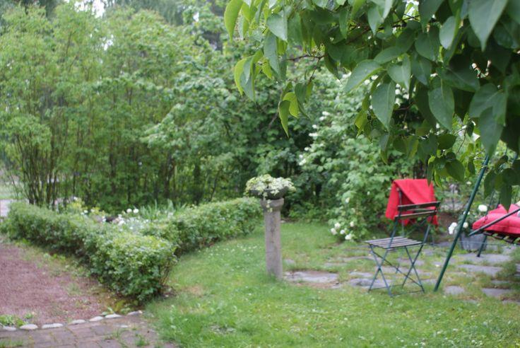 Old garden in Finland, ribes alpinum hedge