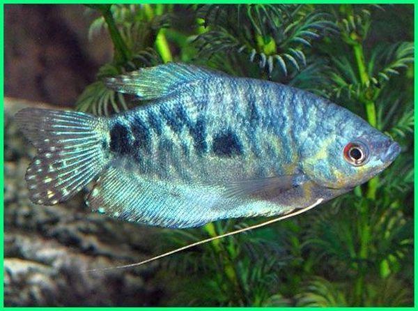Panduan Lengkap Cara Merawat Ikan Hias Sepat Rawa Dunia Fauna Hewan Binatang Tumbuhan Ikan Binatang Hewan
