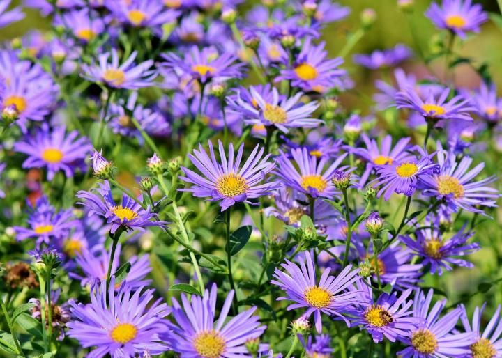 Asters Aster Flower Bee Garden Botanical Terms