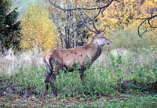 Deer in Bieszczady