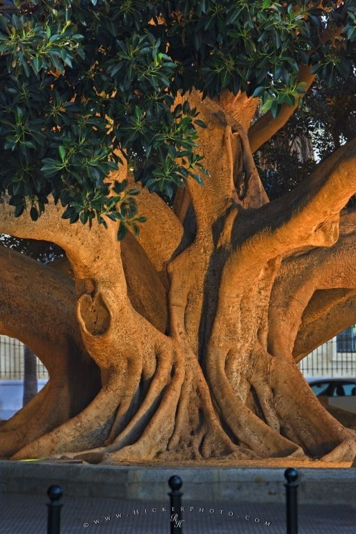 Photo of a old ficus tree trunk in the City of Cadiz in Andalusia, Spain in Europe.