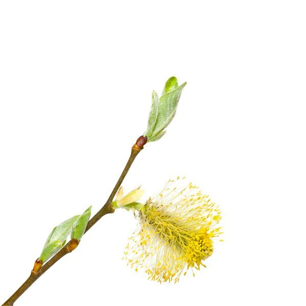 Wierzba Iwa - Salix caprea