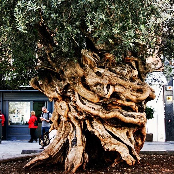 Olivo de más de 1000 años, en la Plaza de Cort de Palma De Mallorca.