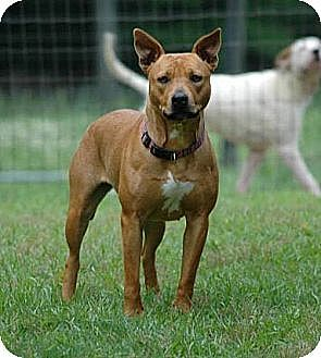 American Staffordshire Terrier/Pharaoh Hound Mix Dog for ...
