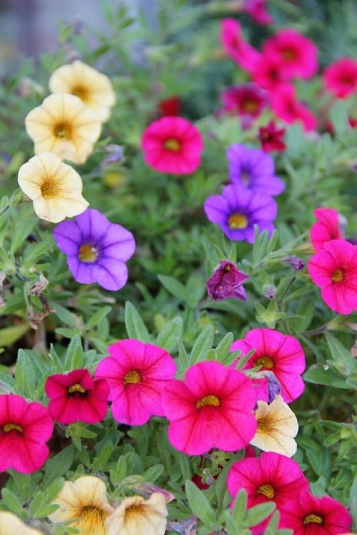 Petunia Meaning Types How To Grow 65 Photos In 2020 Petunias Container Flowers Container Gardening