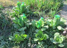 Поделюсь своим опытом выращивания пекинской капусты. Какая она полезная, нежная и вкусная, многие огородники уже знают. Так вот, сажаем её в середине лета на освободившиеся грядки, например, после …