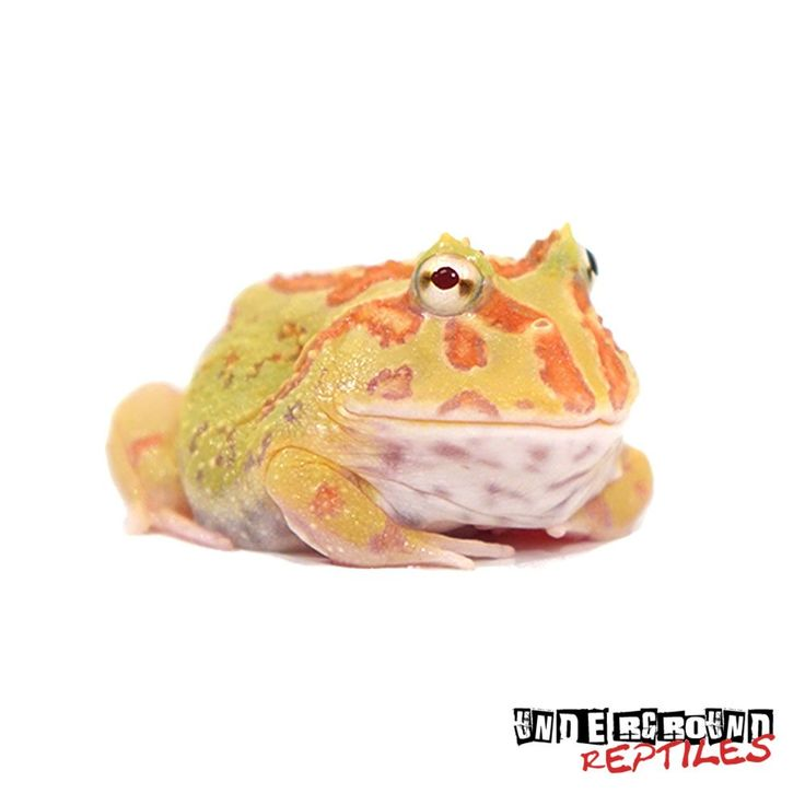 Incredible Albino Pacman Frogs for sale at the lowest prices only at Underground Reptiles. Ships Priority Overnight. Live Arrival Guarantee!