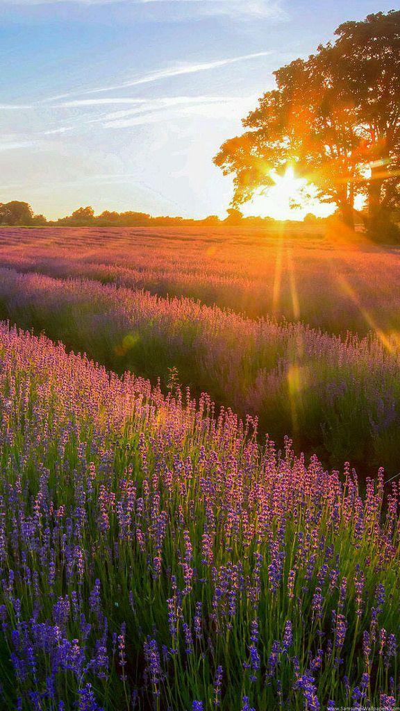 Flower Field Sunset Lavender Garden Sunset Iphone Wallpaper Flower Field