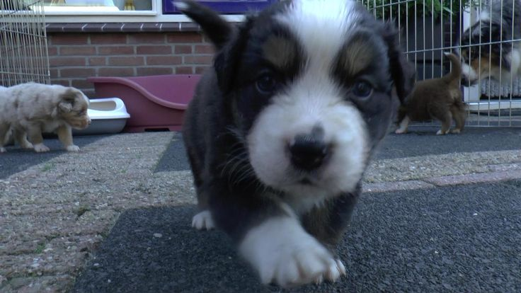 Puppies 4 weeks old | Australian Shepherd | Youtube Video