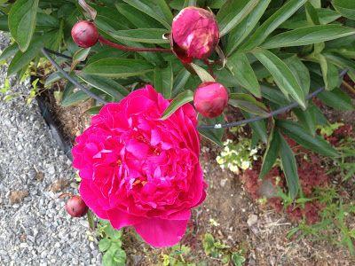 Takalo-Roppolan puutarha- ja mansikkatila: PERENNAT