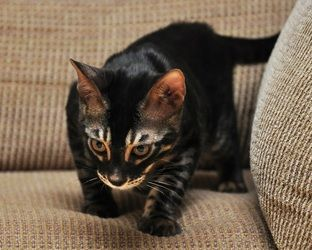 So cool, even for a non-cat person...Charcoal Bengal Cat Gallery - Charcoal Bengal Cats
