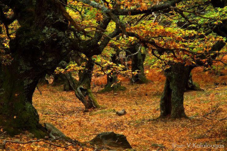 Τhe Oak Forest of Giannitsi... near Marmari .. #alykes #evia #marmari #hotel #greece #greekislands #vacations #relax #traditional