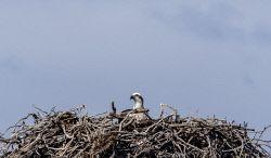 WAN-0014057 © WestPix Rottnest Island wildlife. Osprey Picture: Simon Santi The West Australian