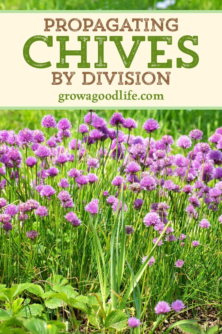 Grow Herbs Indoors Potting Up Chives Spring Vegetable Garden Herbs Indoors Growing Herbs