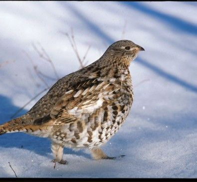 Hunting late-season ruffed grouse Don't put your gun away yet. Some of the season's best ruffed grouse hunting is yet to come
