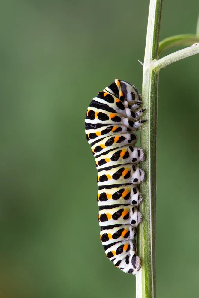 BUTTERFLY Schwalbenschwanz Raupe │ Swallowtail Caterpillar Papilio machaon