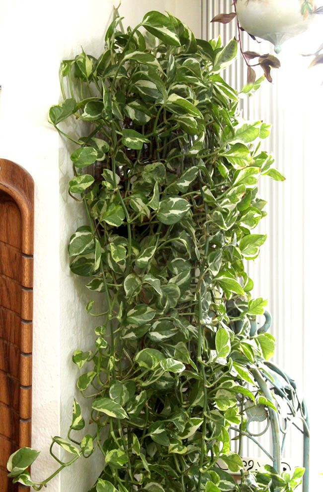 12 easy indoor plants for beauty clean air - House Plants Vines