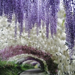 Have you ever seen anything so beautiful? These are Fuji Gardens, and they are located in Kawachi, Japan.