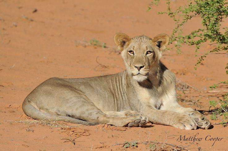 Young lion warming up in the beautiful orange Kalahari sand.