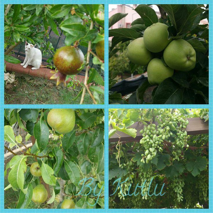 Narlar, elmalar, armutlar ve üzümler! 👍 😊 💙 Bahçemi seviyorum! 😊💙 #nar #elma #armut #üzüm