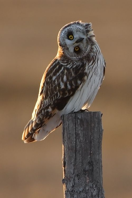 """Short Eared Owl (photo by Mark Bridger)  """"Bin like this since the accident"""""""