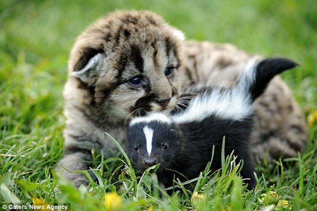 """""""Odor-able! The unlikely friendship between a lion cub and a skunk"""" -- Click through for more photos and the cute story."""