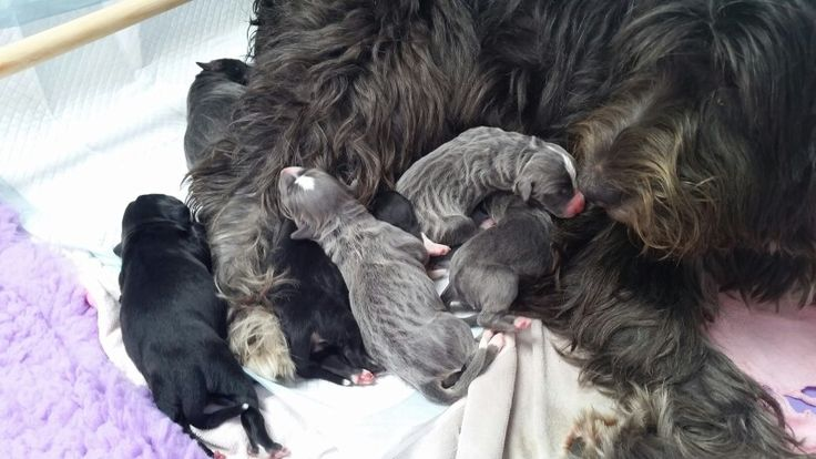 Newborn puppys barbado da terceira