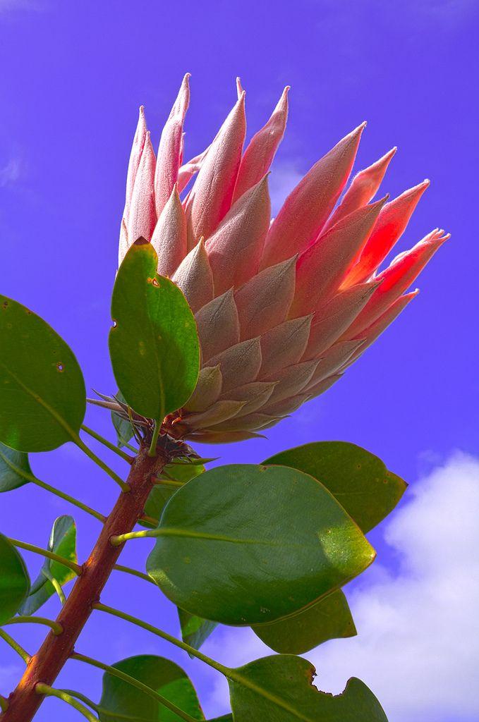 King Protea, Kula Botanical Garden, Maui, Hawaii