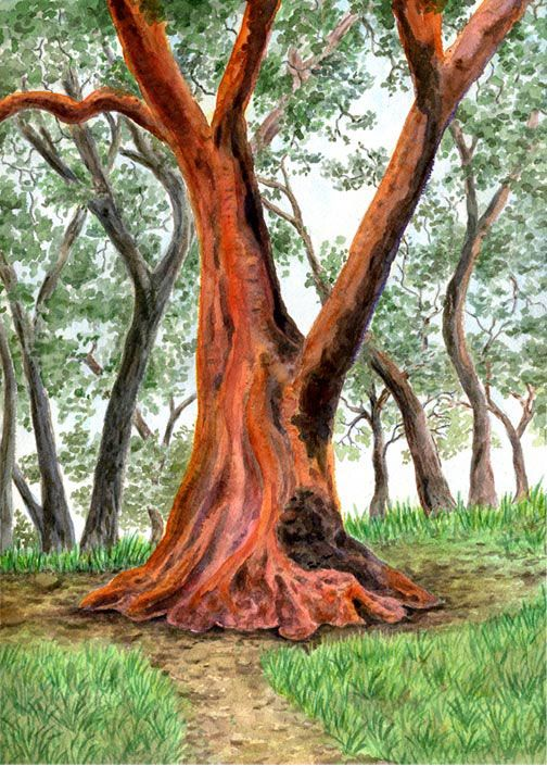 Madrone Tree in Marin | Watercolor | In the Woods ...