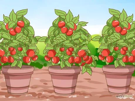 Imagen titulada Grow Cherry Tomatoes Step 6