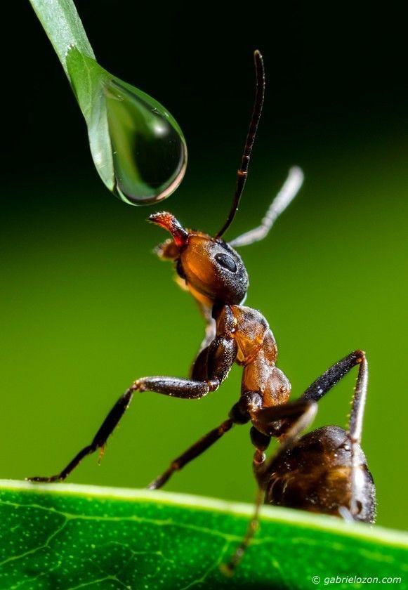 LA HORMIGA:  Artrópodo perteneciente a los insectos.  Tienen características morfológicas distintas  de otros insectos, como las antenas en codo, glándulas metapleurales y una fuerte constricción de su segundo segmento abdominal.  Su cuerpo está dividido en tres segmentos:  La cabeza, mesosoma (tórax y primer segmento abdominal) y metasoma (segundo segmento abdominal).  las hormigas cuentan con exoesqueleto, una cobertura exterior que sirve de cáscara protectora alrededor del cuerpo.