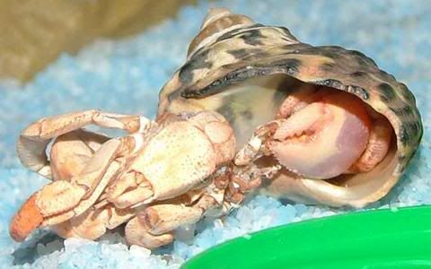 What is molting?  Molting hermit crabs at The Crabstreet Journal