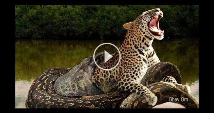 Largest snake anaconda kill. Leopard vs Giant python. Real fight. Anaconda attack human