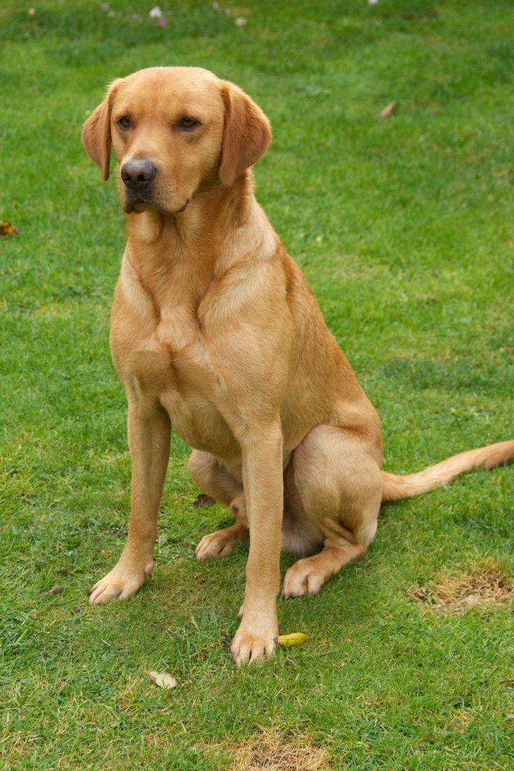 Image result for dark yellow working labrador Labrador