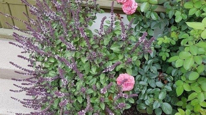 Strauchbasilikum Tolle Pflanze Fur Bienen Frag Mutti Pflanzen Bienen Basilikum