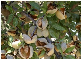 Nuts: Safe Methods for Home Gardeners to Harvest, Store, and Enjoy The quality, quantity, and safety of your home orchard's nut crop depend on the harvesting, processing, and storage techniques that you use. This publication offers advice for safely handling almonds, chestnuts, pecans, pistachios, and walnuts.