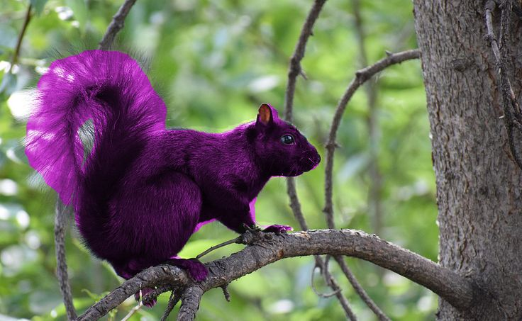 A Real Purple Squirrel Like Surly