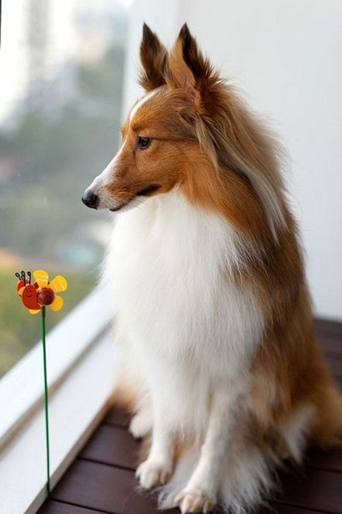Fabuleux Les 25 meilleures idées de la catégorie Race chien moyen sur  CF11
