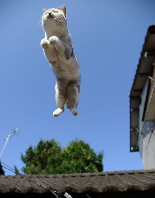http://americancustomroofs.com/ Cat Flying Off Roof