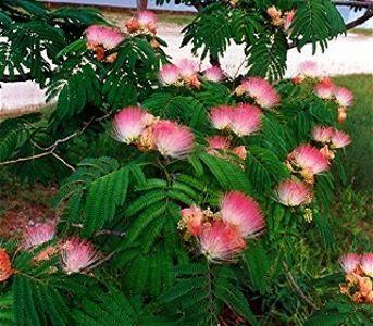 mimosa pink tree persian silk tree albizia julibrissin - Silk Trees