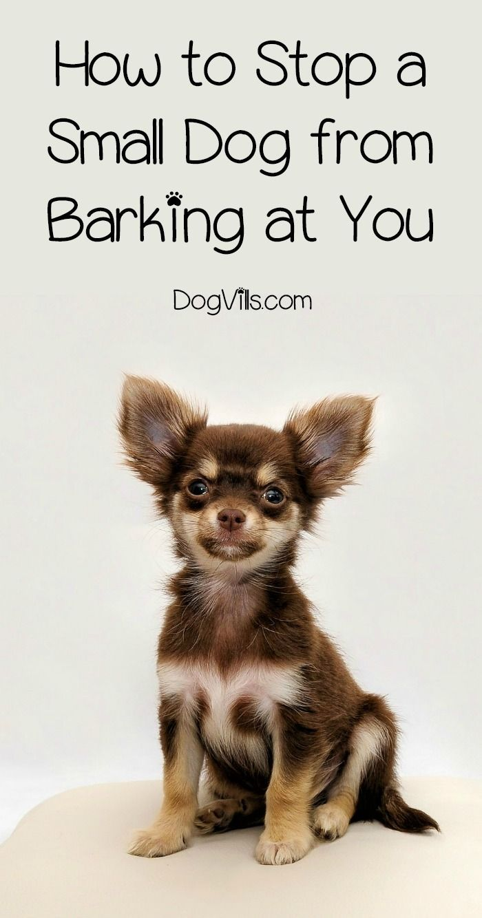 How To Stop Barking In Your Small Dogs Especially At You Dog Barking Small Dogs Dog Training