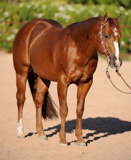 American Quarter Horse Breed Profile - thesprucepets.com